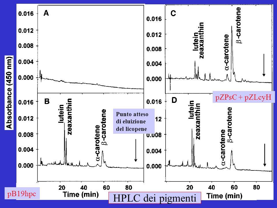 HPLC dei pigmenti pZPsC + pZLcyH pB19hpc