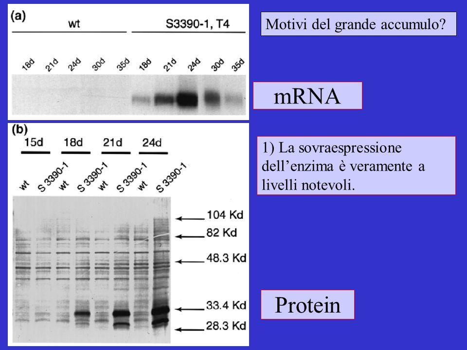mRNA Protein Motivi del grande accumulo