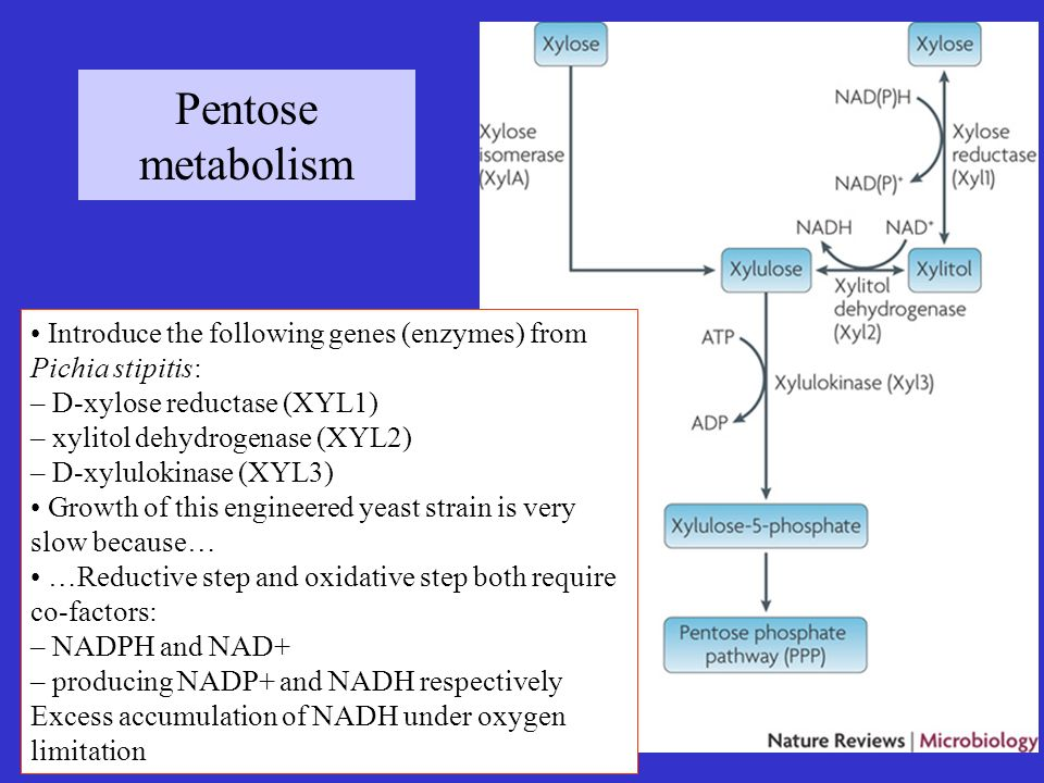 Pentose metabolism • Introduce the following genes (enzymes) from Pichia stipitis: – D-xylose reductase (XYL1)