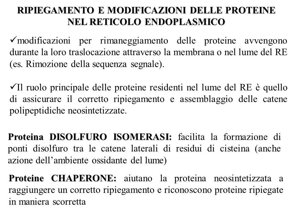 RIPIEGAMENTO E MODIFICAZIONI DELLE PROTEINE NEL RETICOLO ENDOPLASMICO