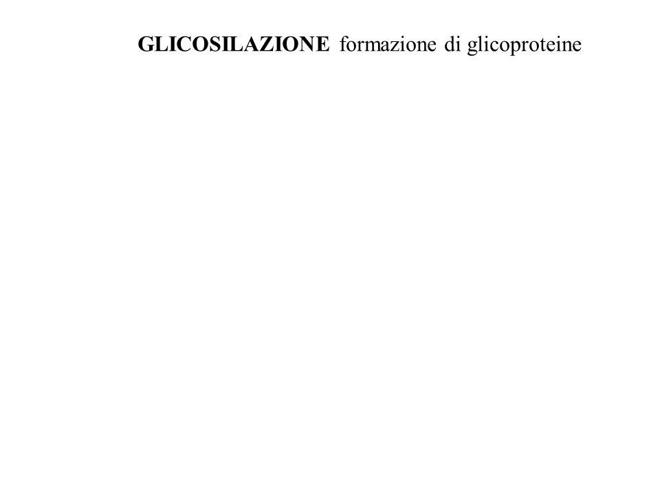 GLICOSILAZIONE formazione di glicoproteine