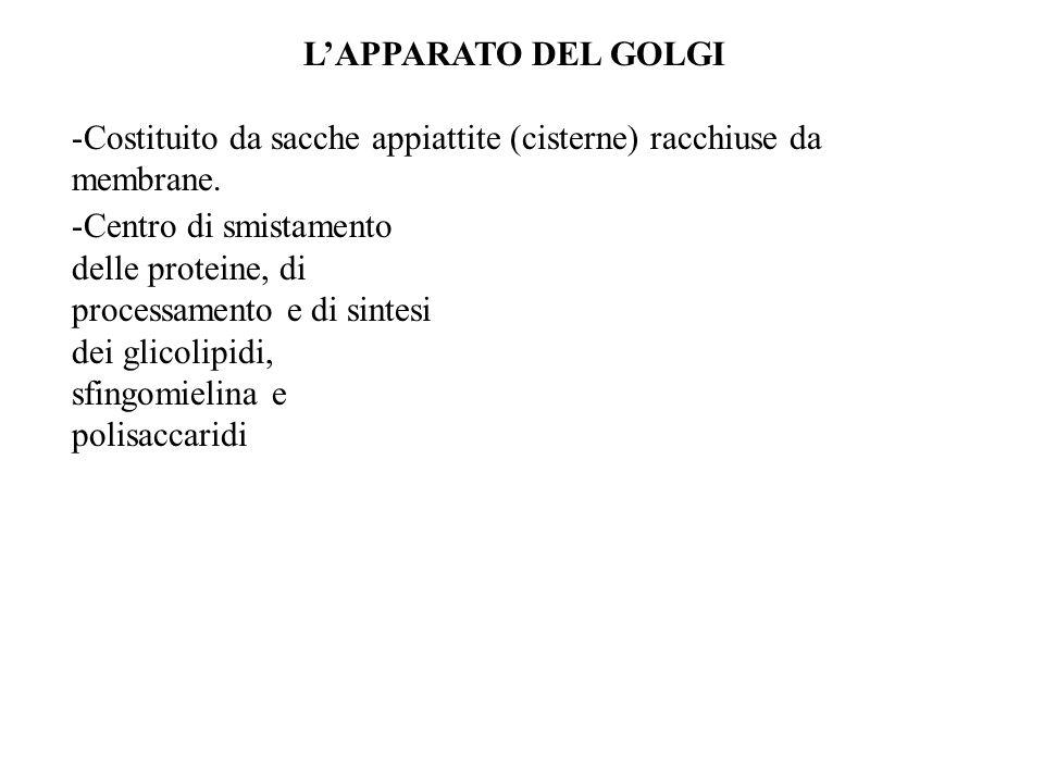 L'APPARATO DEL GOLGI Costituito da sacche appiattite (cisterne) racchiuse da membrane.
