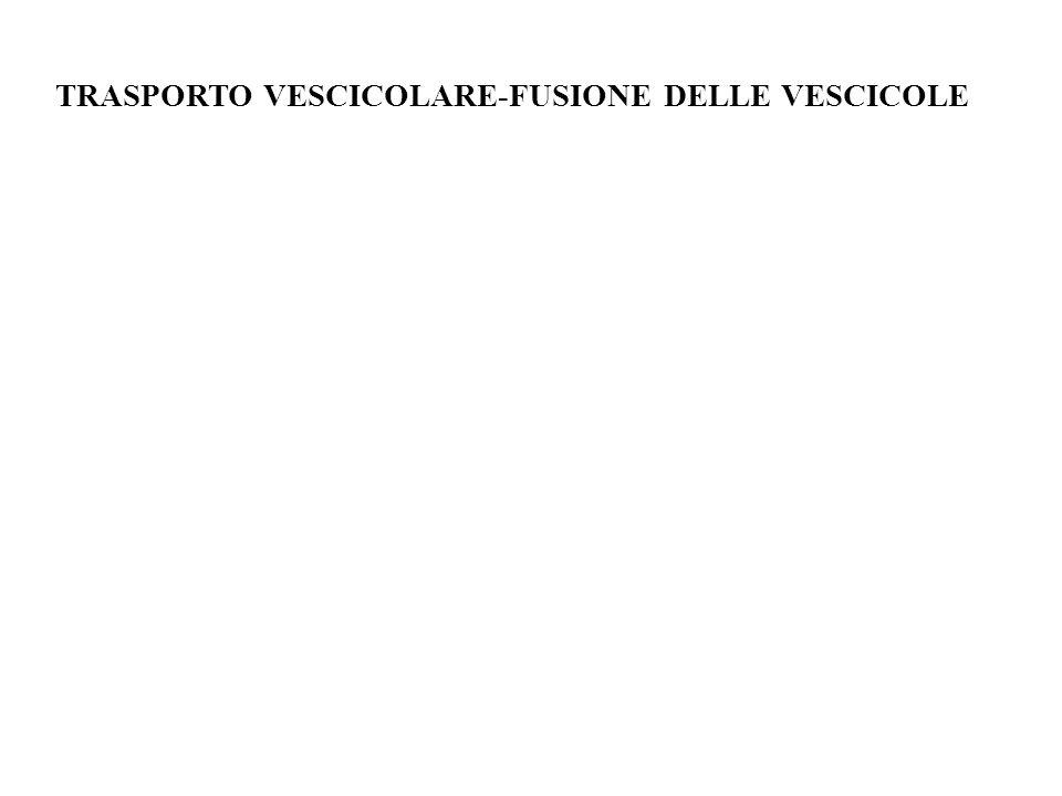 TRASPORTO VESCICOLARE-FUSIONE DELLE VESCICOLE