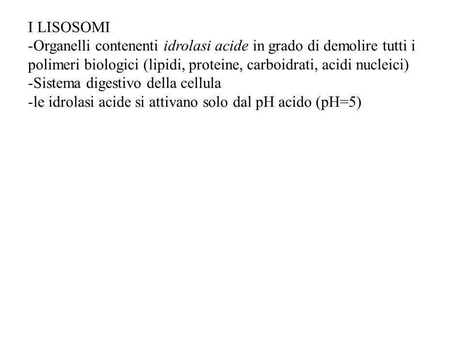 I LISOSOMI Organelli contenenti idrolasi acide in grado di demolire tutti i polimeri biologici (lipidi, proteine, carboidrati, acidi nucleici)