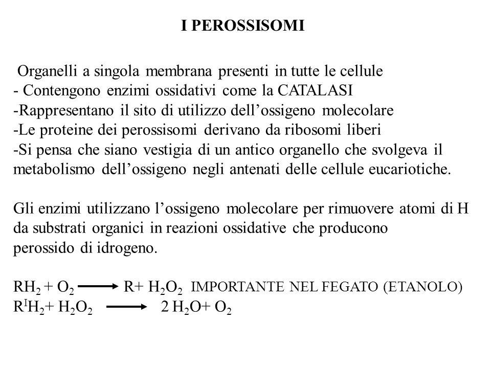 I PEROSSISOMI Organelli a singola membrana presenti in tutte le cellule. Contengono enzimi ossidativi come la CATALASI.