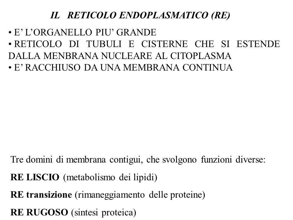 IL RETICOLO ENDOPLASMATICO (RE)