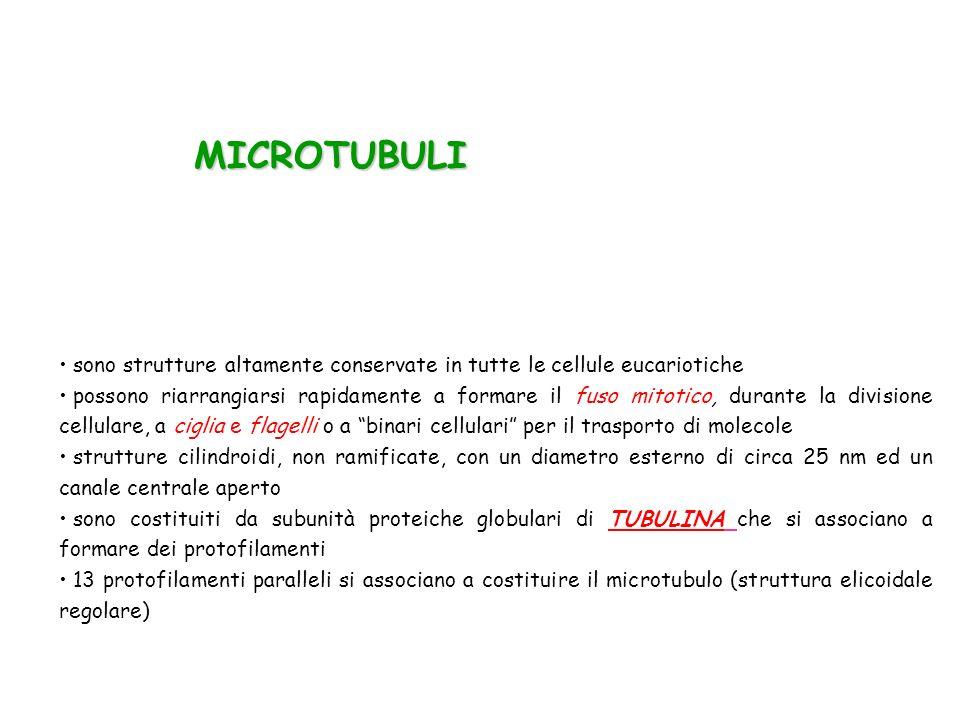 MICROTUBULI sono strutture altamente conservate in tutte le cellule eucariotiche.