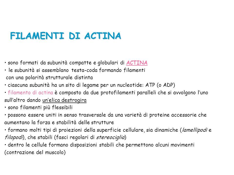 FILAMENTI DI ACTINA sono formati da subunità compatte e globulari di ACTINA.