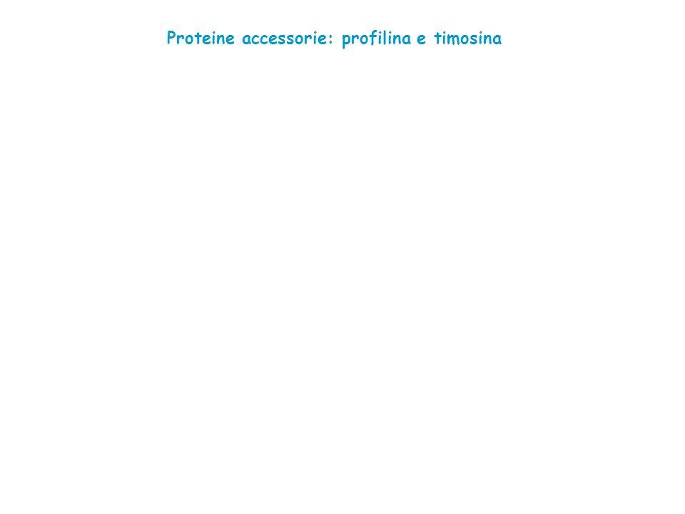Proteine accessorie: profilina e timosina