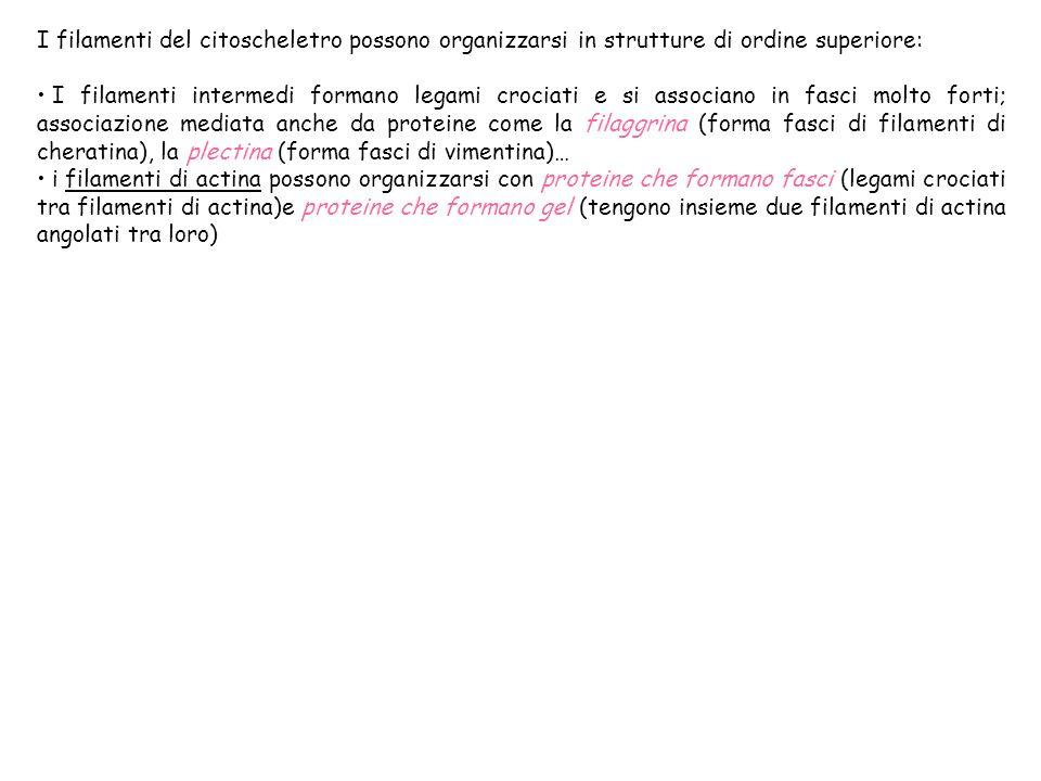 I filamenti del citoscheletro possono organizzarsi in strutture di ordine superiore: