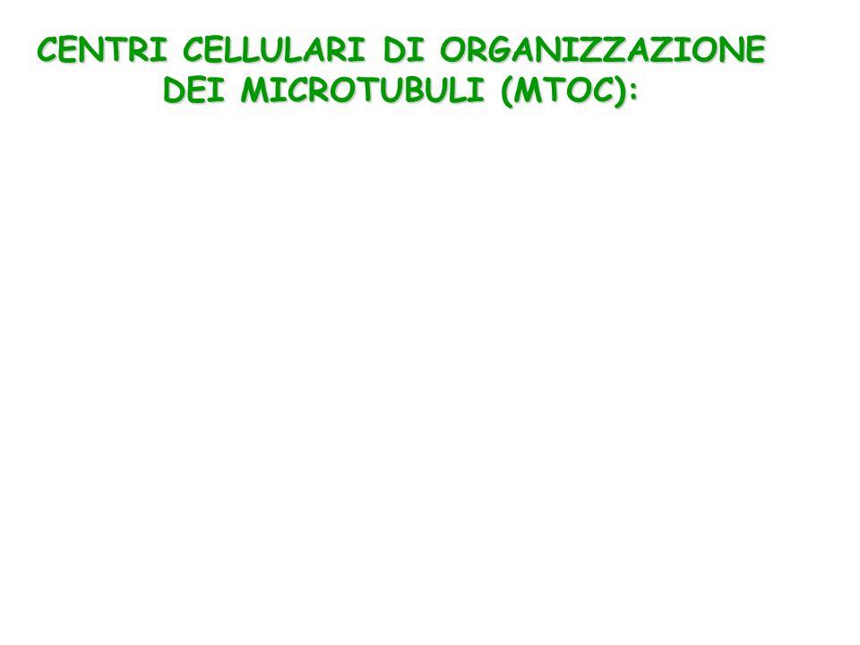 CENTRI CELLULARI DI ORGANIZZAZIONE DEI MICROTUBULI (MTOC):