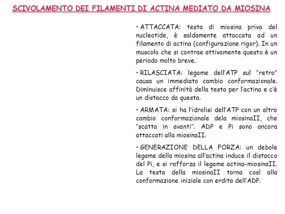 SCIVOLAMENTO DEI FILAMENTI DI ACTINA MEDIATO DA MIOSINA