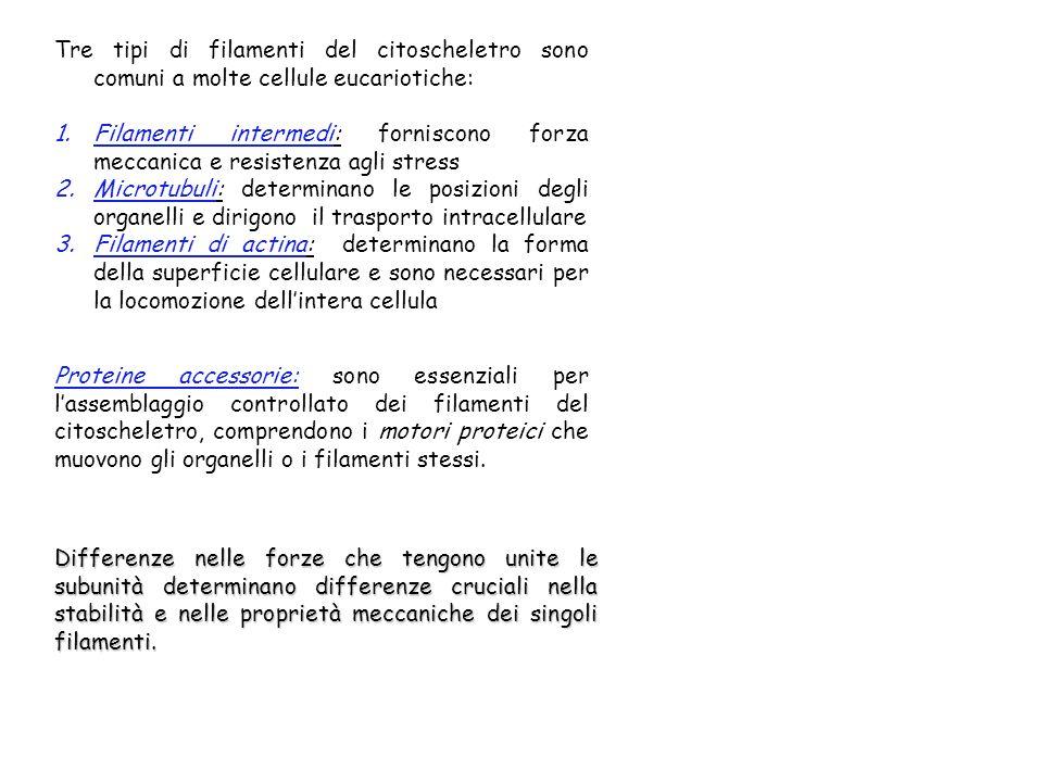 Tre tipi di filamenti del citoscheletro sono comuni a molte cellule eucariotiche: