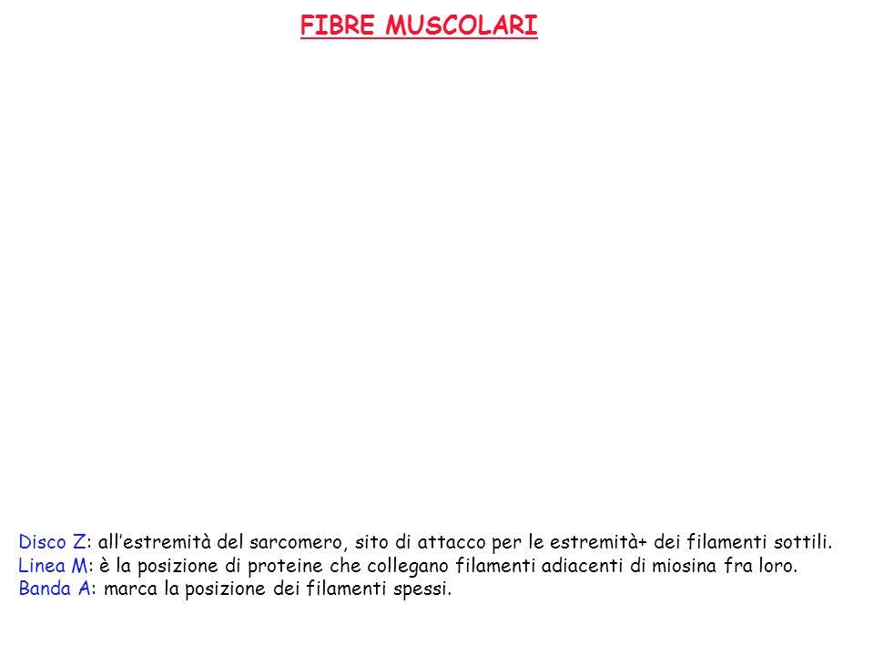FIBRE MUSCOLARI Disco Z: all'estremità del sarcomero, sito di attacco per le estremità+ dei filamenti sottili.