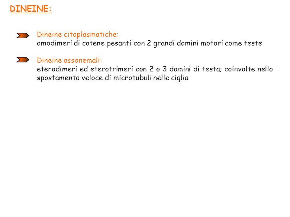 DINEINE: Dineine citoplasmatiche: