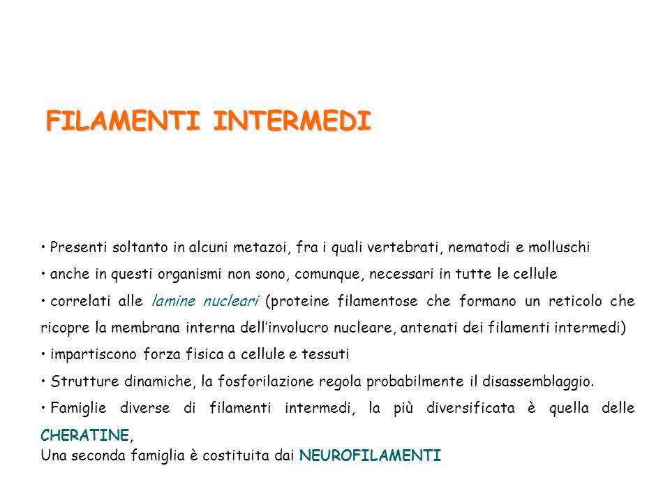 FILAMENTI INTERMEDI Presenti soltanto in alcuni metazoi, fra i quali vertebrati, nematodi e molluschi.