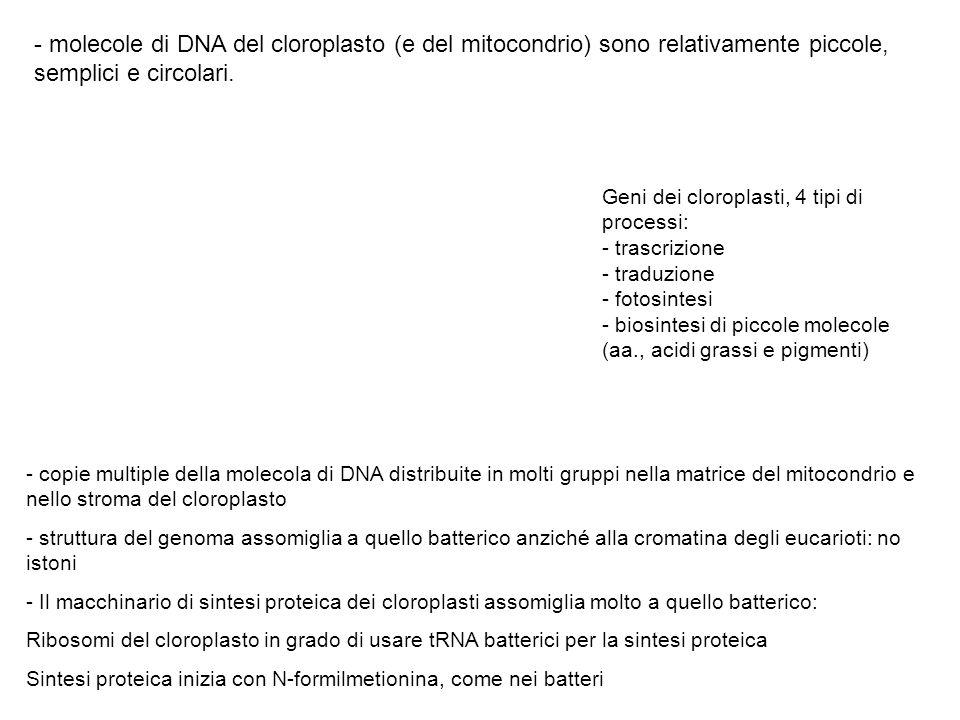 - molecole di DNA del cloroplasto (e del mitocondrio) sono relativamente piccole, semplici e circolari.