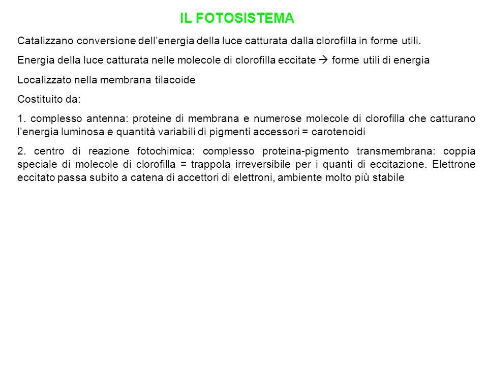 IL FOTOSISTEMA Catalizzano conversione dell'energia della luce catturata dalla clorofilla in forme utili.
