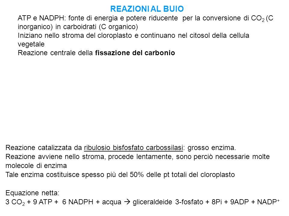 REAZIONI AL BUIO ATP e NADPH: fonte di energia e potere riducente per la conversione di CO2 (C inorganico) in carboidrati (C organico)