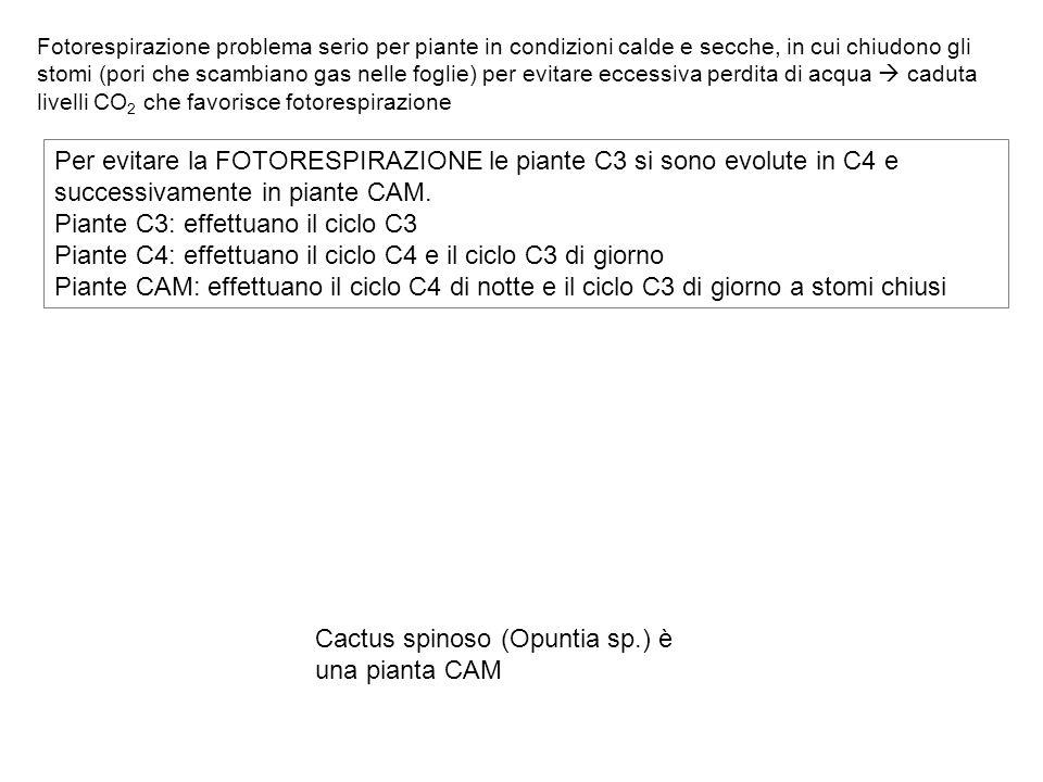Piante C3: effettuano il ciclo C3