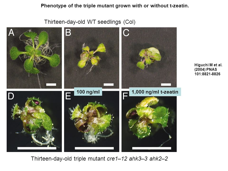 Phenotype of the triple mutant grown with or without t-zeatin.