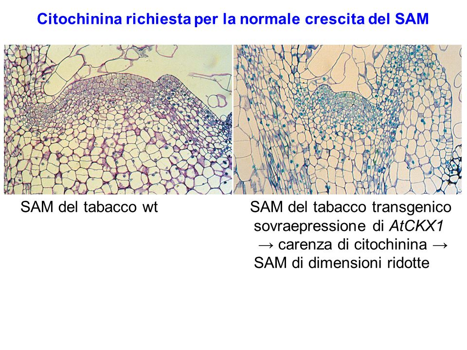 Citochinina richiesta per la normale crescita del SAM