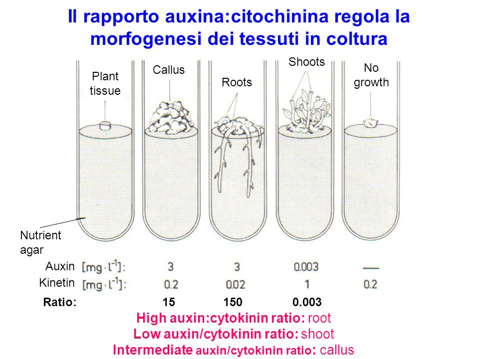 Il rapporto auxina:citochinina regola la morfogenesi dei tessuti in coltura