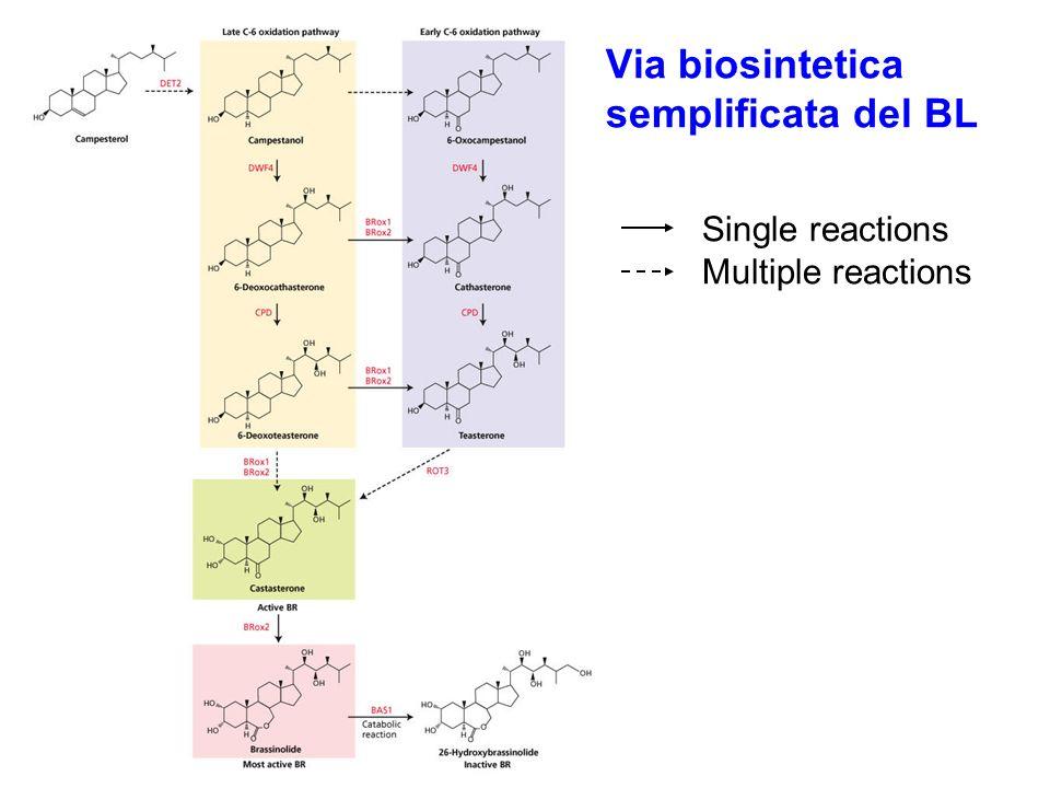 Via biosintetica semplificata del BL