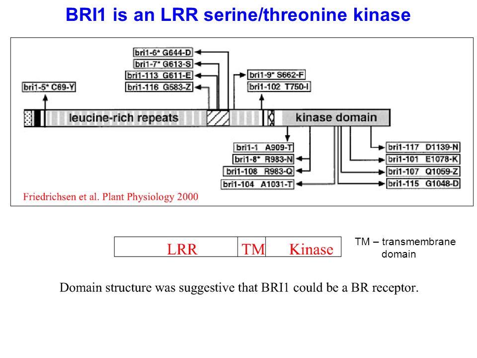 BRI1 is an LRR serine/threonine kinase