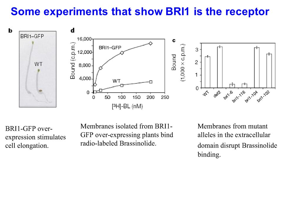 Some experiments that show BRI1 is the receptor