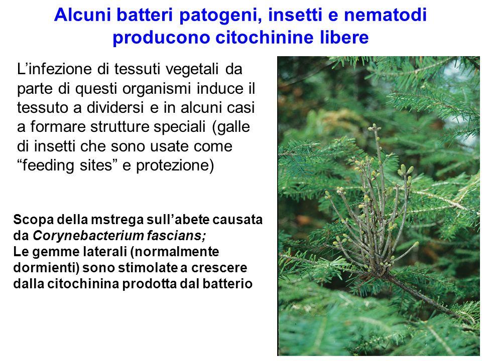 Alcuni batteri patogeni, insetti e nematodi producono citochinine libere