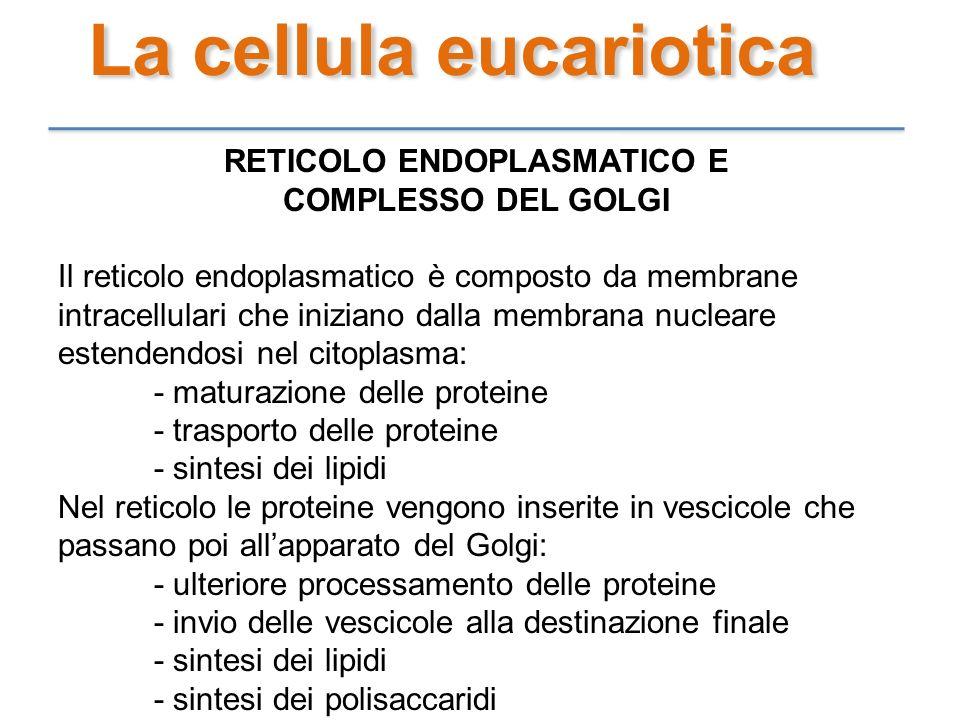 RETICOLO ENDOPLASMATICO E