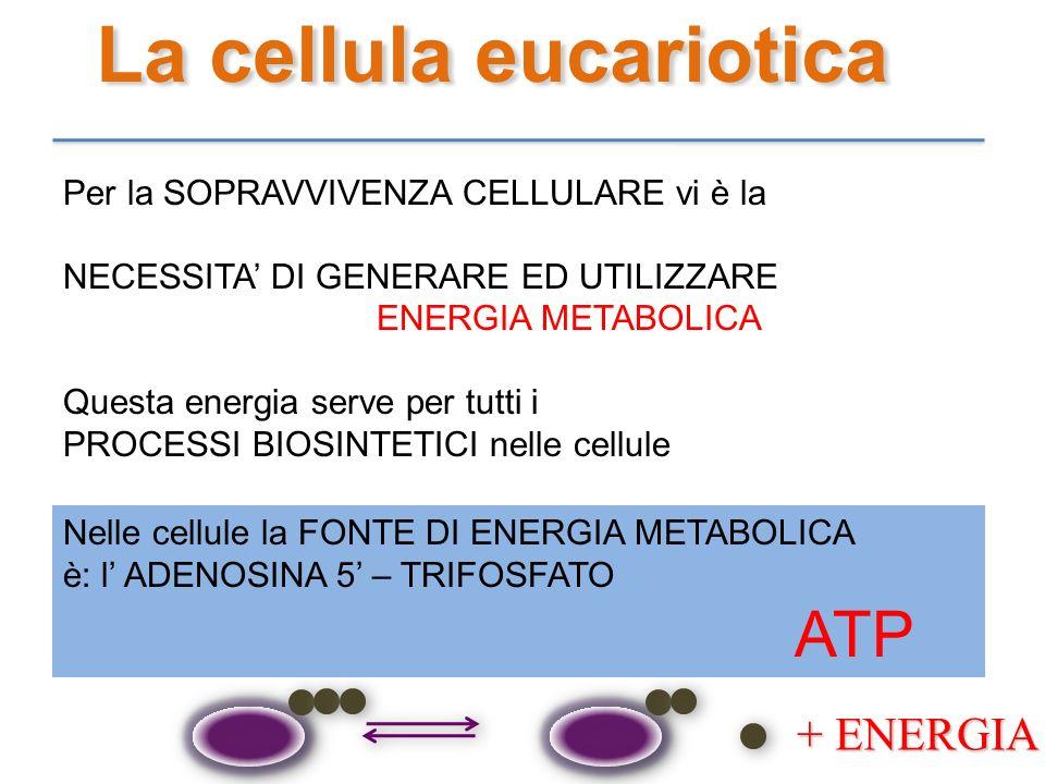 La cellula eucariotica