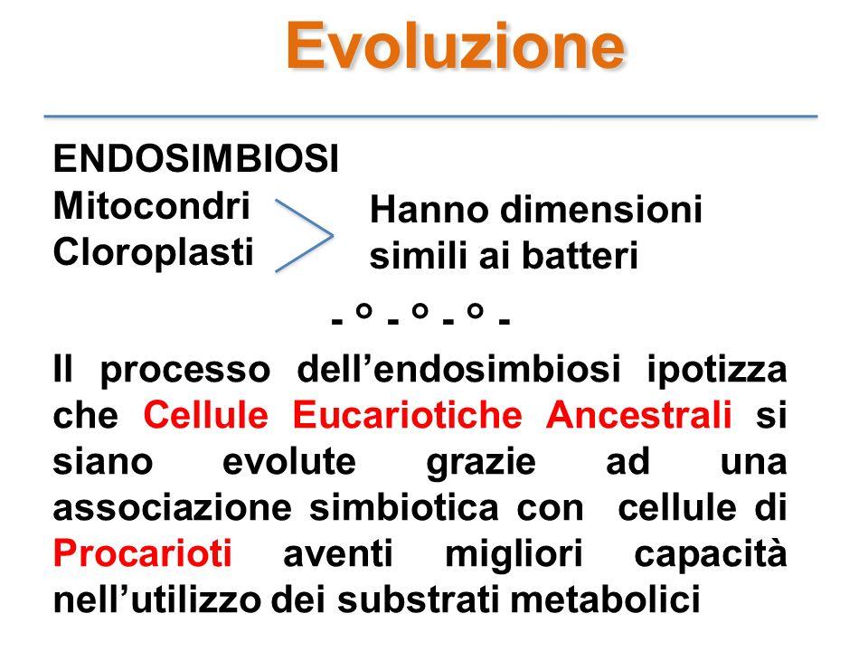 Evoluzione ENDOSIMBIOSI Mitocondri Cloroplasti Hanno dimensioni