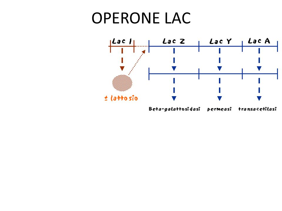 OPERONE LAC