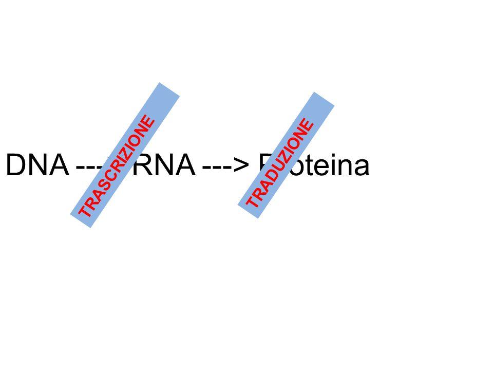 DNA ---> RNA ---> Proteina