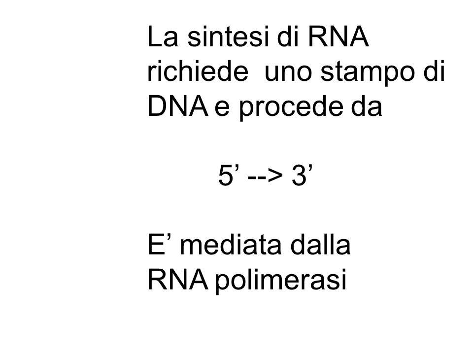 La sintesi di RNA richiede uno stampo di DNA e procede da