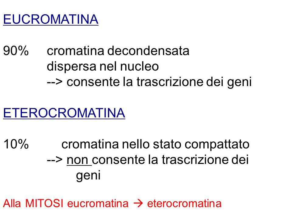 90% cromatina decondensata dispersa nel nucleo