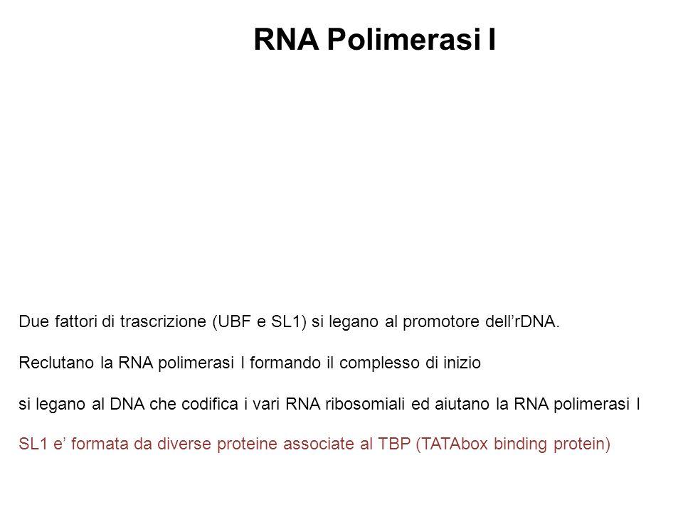 RNA Polimerasi I Due fattori di trascrizione (UBF e SL1) si legano al promotore dell'rDNA.