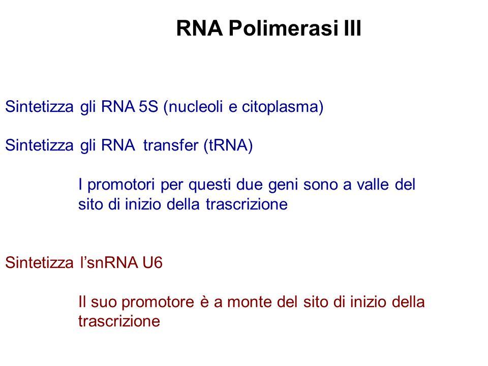 RNA Polimerasi III Sintetizza gli RNA 5S (nucleoli e citoplasma)