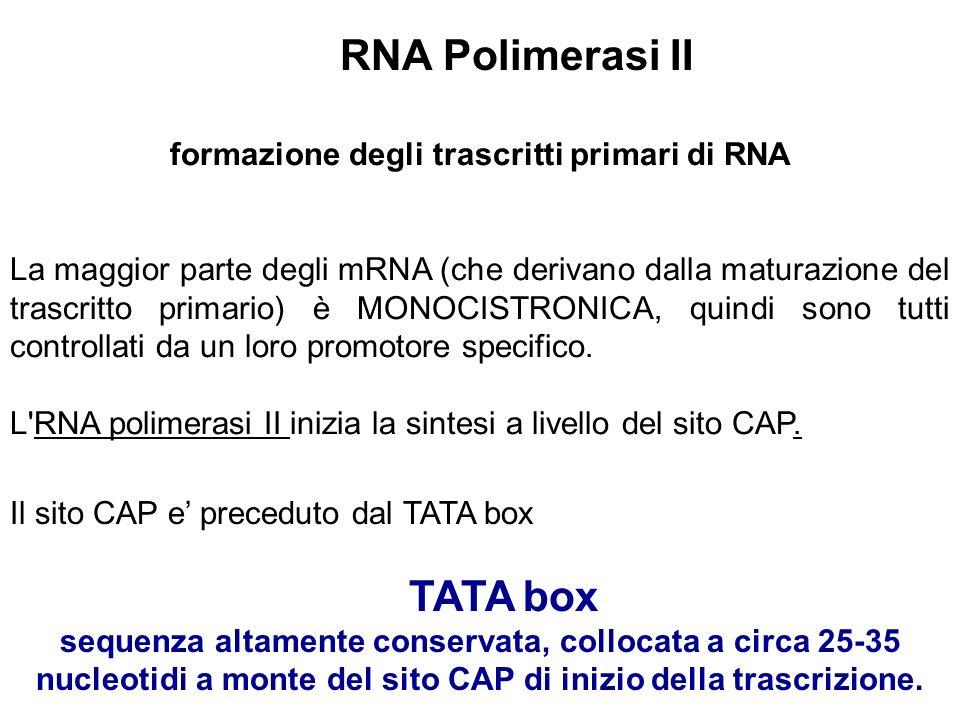formazione degli trascritti primari di RNA