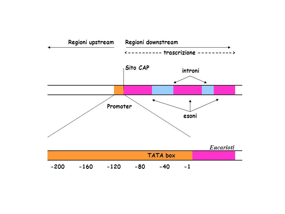 Eucarioti Promoter introni Sito CAP