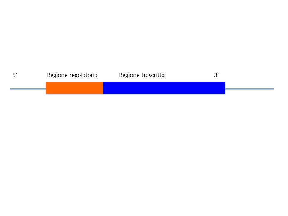 5' Regione regolatoria Regione trascritta 3'