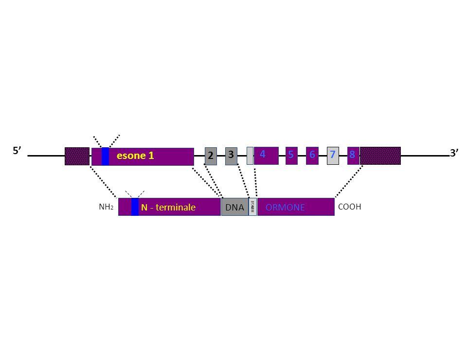 5' esone 1 2 3 4 5 6 7 8 3' COOH NH2 DNA ORMONE HINGE N - terminale