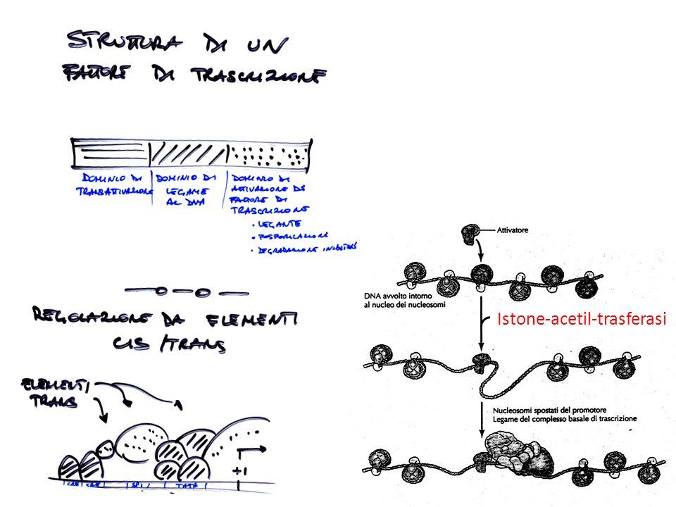 Istone-acetil-trasferasi