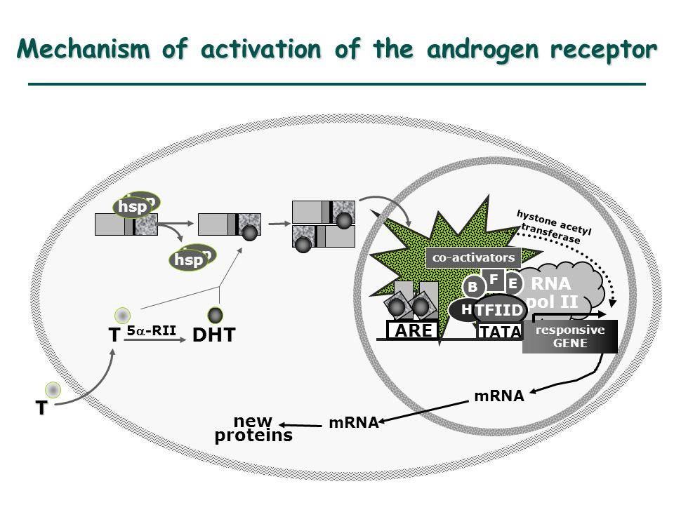 Mechanism of activation of the androgen receptor