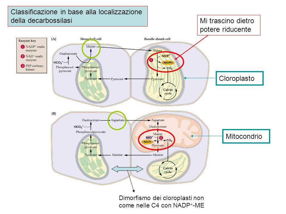 Classificazione in base alla localizzazione della decarbossilasi