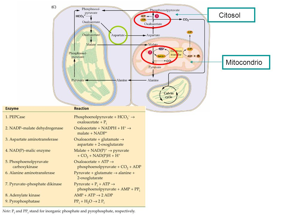 Citosol Mitocondrio