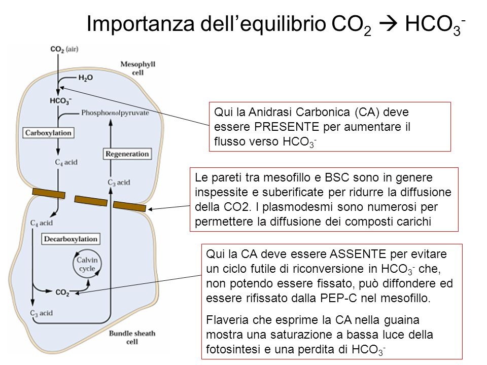 Importanza dell'equilibrio CO2  HCO3-