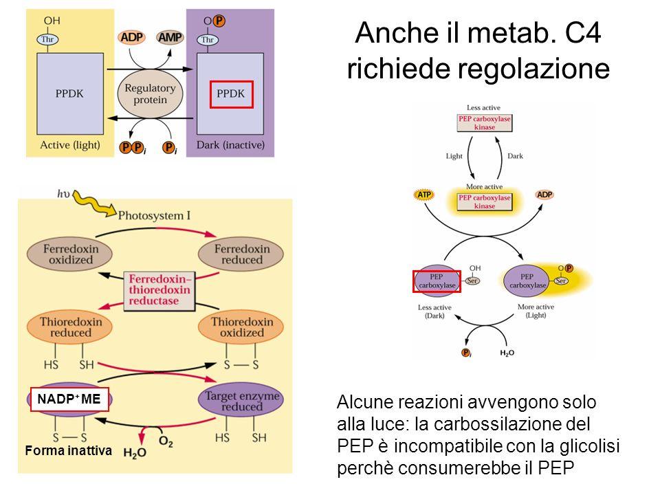 Anche il metab. C4 richiede regolazione